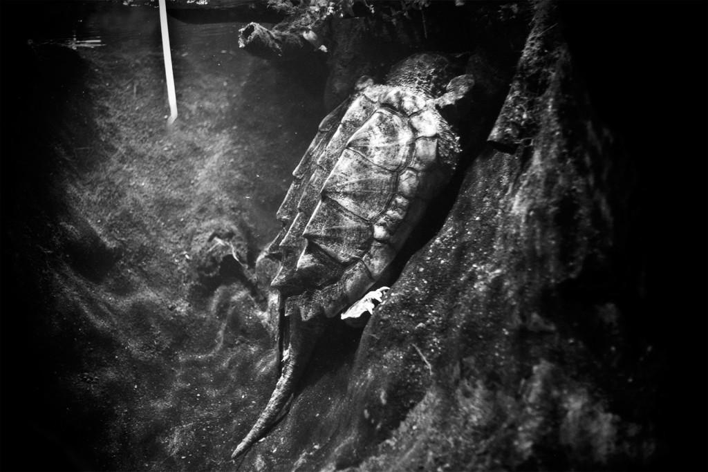 Aligatorinis vėžlys.