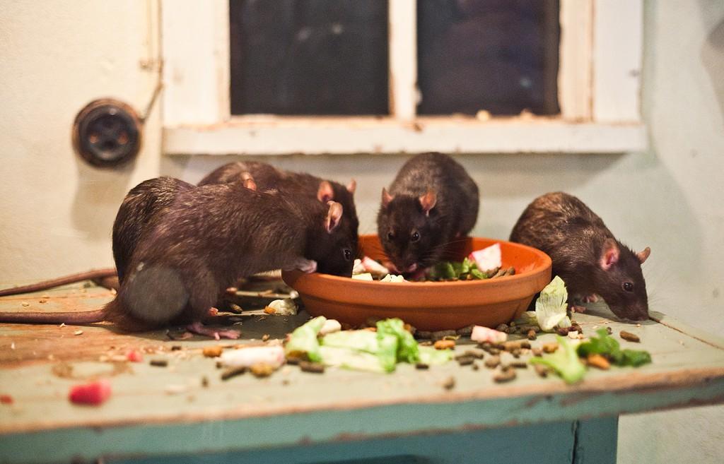 Atrodytų, kas įdomaus iš banalių žiurkių? Bet va apipavidalink jų ekspoziciją tinkamai ir visai kitas vaizdas